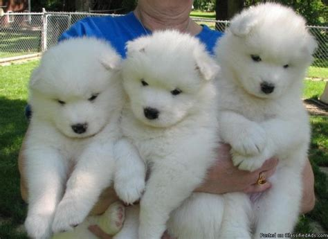 59 Best Samoyed Images On Pinterest Dog Breeds Species
