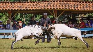 Discovering traditional ram fighting in Bandung - Silkwinds