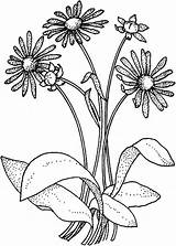 Coloring Pages Daisy Flower Bouquet Wildflower Drawing Daisies Printable Getdrawings sketch template