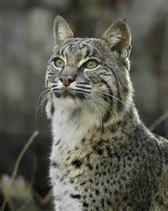 bob cats animal picture bobcat lynx