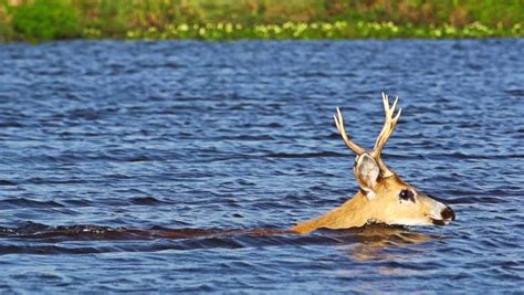 Stock Video Clip Of Marsh Deer Swimming Shutterstock