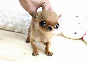 Chihuahua Teacup Baby Doll Face | Chihuahuas | Pinterest ...