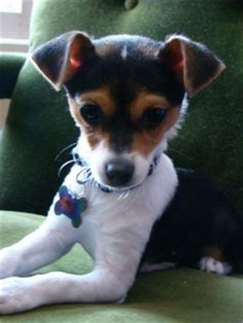 jack chi jack russell terrier  chihuahua mix info temperament pictures