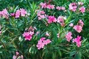 Oleander Draussen überwintern : oleander triebe sind trocken woran liegt 39 s ~ Eleganceandgraceweddings.com Haus und Dekorationen