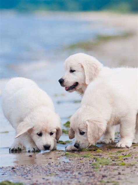 golden retriever puppies sandbeach seaside hd dog