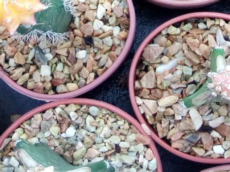 ทำไม ต้องโรยหินบนกระถางแคคตัส - cactus cacti | ข้อมูล ...