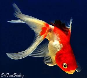 Fantail and Ryukin Goldfish for Sale Online