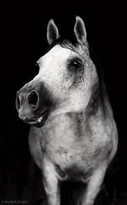 Horses (Arabians) on Pinterest | Arabian Horses, Arabian ...