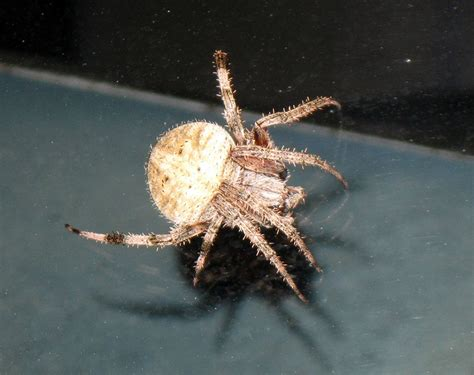 Barn Spider Bite by Spotted Orb Weaver Facts Identifications Pictures
