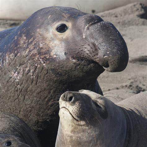 southern elephant seals characteristicshabitats