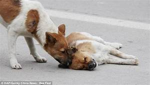 Please wake up: Dog desperately tries to revive his dead ...