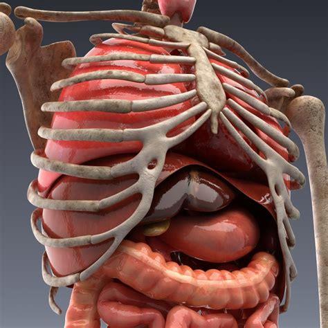human anatomy animated skeleton  internal organs