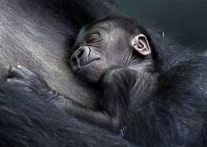 Doctors for humans help deliver baby gorilla at ...  Baby