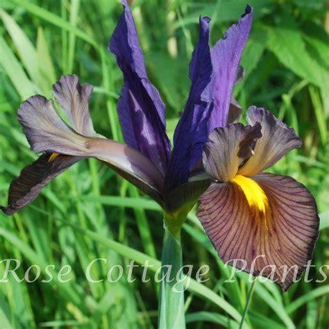 iris eye of the tiger iris hollandica eye of the tiger rose cottage plants