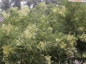 Weiß Blühende Sträucher : foto japanische pagode baum gelehrter baum wei ~ Michelbontemps.com Haus und Dekorationen