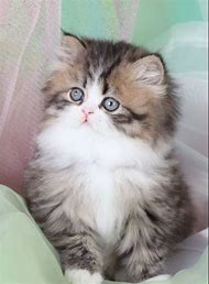 Best 25+ ideas about Teacup Persian Kittens | Find what you\'ll love