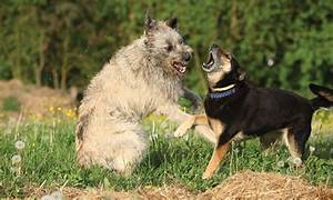 canine aggression linked serotonin concentration