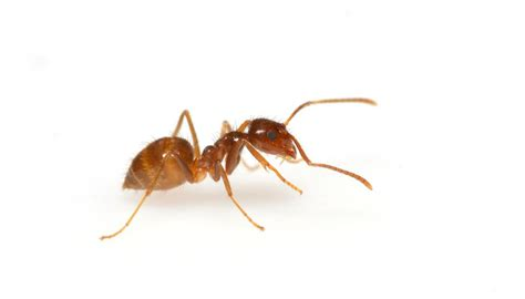 crazy facts  crazy ants mnn mother nature network