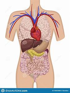 Picture Of Body Organs