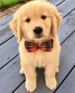 the cutest golden retriever puppies you 39 ve seen