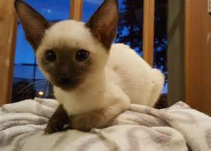 siamese cats for beautiful classic siamese kittens for bradford