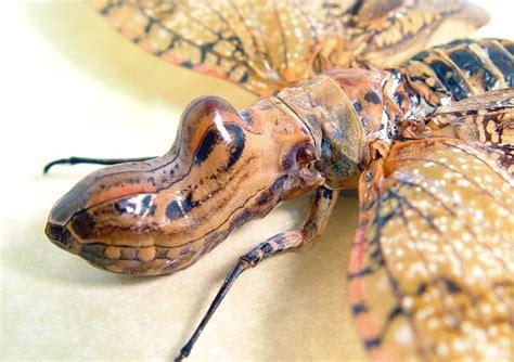Fulgora Laternaria Female Real Framed Peanut Head
