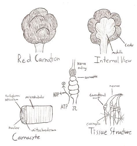 Carnation Anatomy Diagram by Carnation Anatomy By Eddy1701 On Deviantart