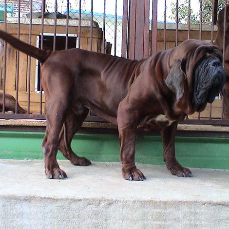 korean mastiff breed guide learn   korean mastiff