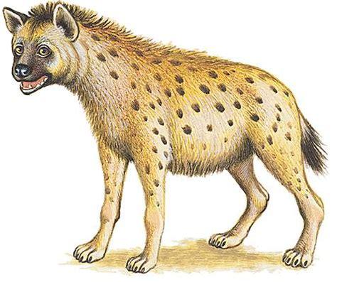 larousse cuisine fr encyclopédie larousse en ligne hyène