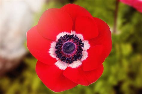 poppies the flower free photo poppy red red poppy flower free image on pixabay 902841