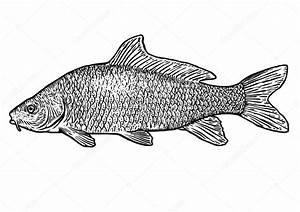 Carp fish illustration, drawing, engraving, line art ...