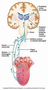 Neuroanatomy Lecture 14 At Lynchburg College