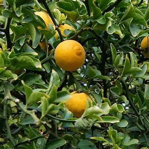 Prix D Un Citronnier : poncirus trifoliata citronnier pineux vente oranger ~ Premium-room.com Idées de Décoration