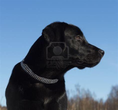 cute dogs cute black labrador retriever