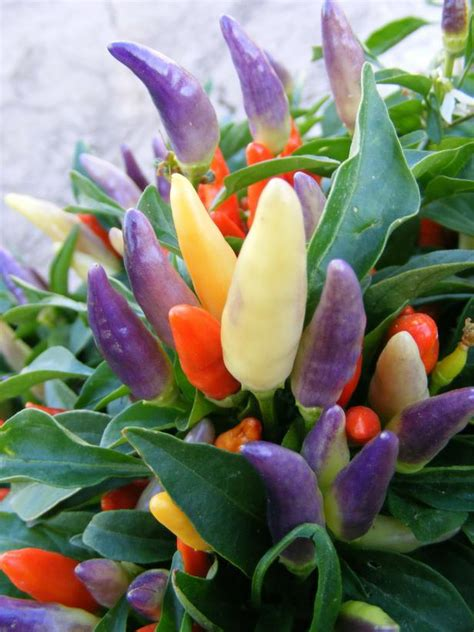 ornamental pepper easter numex peppers plant grow indoors well plants decorative indoor light diy edibles easy cool colorful