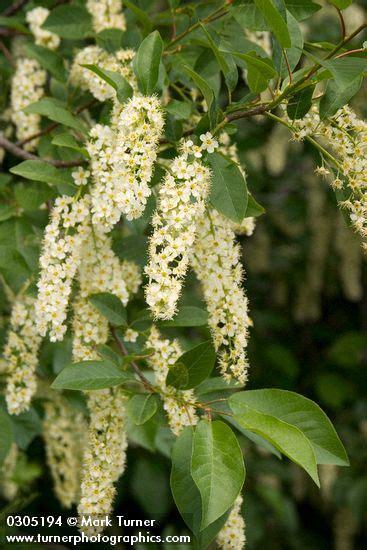 flowering shrubs pacific northwest prunus virginiana chokecherry wildflowers of the pacific northwest