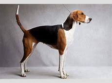 American Foxhound Facts, Temperament, Training, Puppies