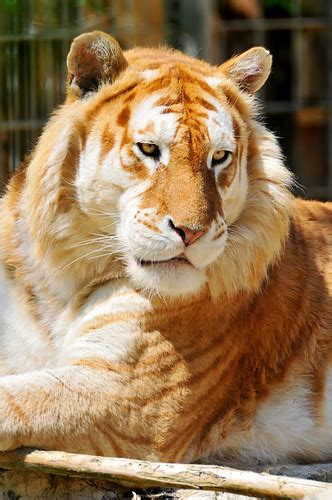 Golden Tiger Wallpapers