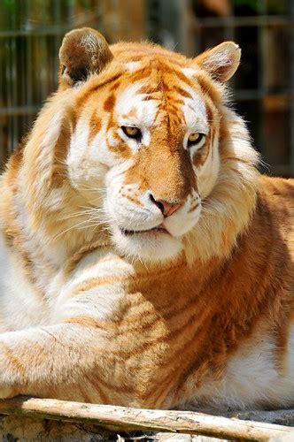 the maltese tiger pics