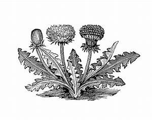 Antique Images: Free Vintage Botanical Graphic: Black and ...