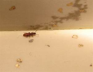 Tiny bugs in bathroom springtails 28 images little for Tiny reddish brown bugs in bathroom