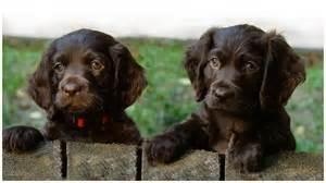 boykin spaniel puppies rescue pictures breeders