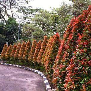 jual biji benih tanaman pohon rindang pucuk merah  lapak