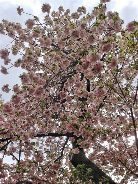 guide  japans cherry blossom season  foodicles