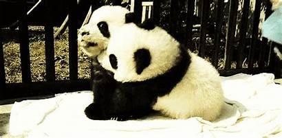 Panda Hugs Gifs Cutest Send Hug Hugging