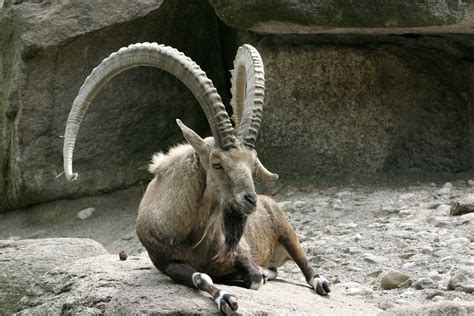 The Reference Reference Goats I Ibex