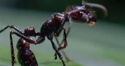 ophiocordyceps zombie ants ant infected fungus creates