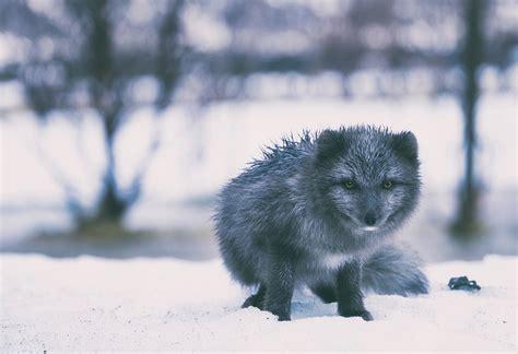 iceland fox gray  photo  pixabay
