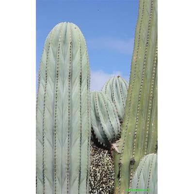 Pachycereus pringleilanzarote cactus