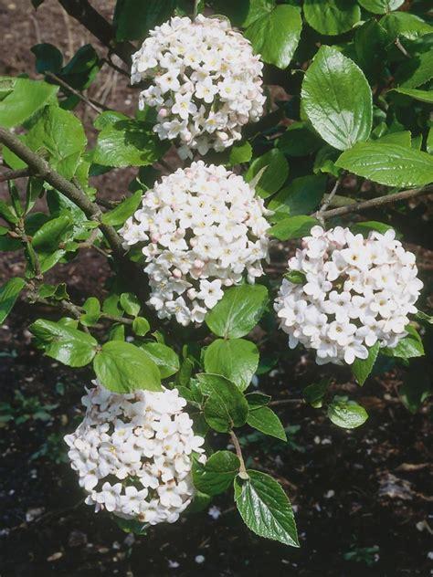 fragrant flowering bushes fragrant white flowering shrub identification pictures to pin on pinterest pinsdaddy